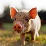 hog roast London are pork experts