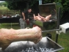 big-roast-hog-roasts-july-2009-025
